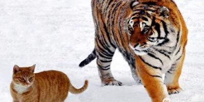 把猫咪放大10倍,和老虎打一架谁能赢?