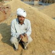 看印度人吃米饭,那个米又长又大,谁知道产量如何?最重要的是想知道和袁老的杂交水稻有何异同?