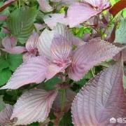 你知道紫苏有哪些功效吗?