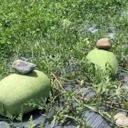 农民种植西瓜,为什么要在西瓜上压一块石头?有什么用吗?