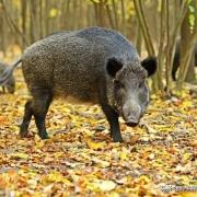 农村野猪泛滥,捕也不捕不得,该咋办?