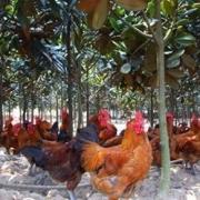 大山里养土鸡会有哪些困难?
