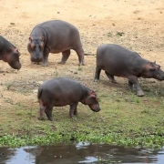 为什么染上炭疽病病毒的河马会变成丧尸一样的食肉动物?
