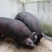 以前农村每家每户要喂二三头猪,留一头过年,现在怎么不喂了?