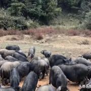 万科开始养猪了,是政府的补贴高了还是猪肉又在风口上?