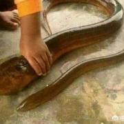 一斤以上的野生大黄鳝通常要长多少年?