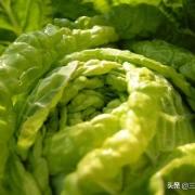九月种秋白菜晚吗?
