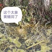 黄鳝平时钻进水稻田的泥土里,草也不吃,它们是吃什么长大的?