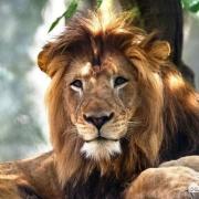 母狮一生中要经历多少次雄狮更替与丧子之痛?