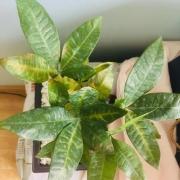 小发财树叶子变黄怎么办?