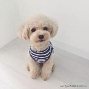 为什么都不建议养泰迪犬?