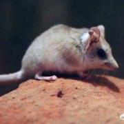 据说澳洲的宽足袋鼩会因为繁衍后代致死,这具体是咋回事呢?