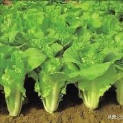 立秋后,怎么样移植白菜苗成活率高?