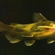 夜钓黄颡鱼钓底还是离底?