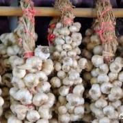 农民刚刚收获的大蒜,能不能在太阳下面暴晒?为什么?