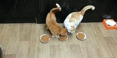 如何让猫猫肯吃猫粮?
