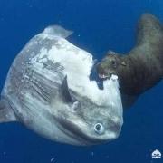 被海豹吃了也不逃跑的翻车鱼,为什么还没灭绝?