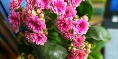 长寿花可以露养吗?怕淋雨吗?