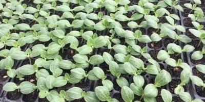 大棚种植西葫芦如何育苗,并高效栽培?