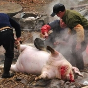杀猪是每年几月?
