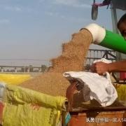 今年小麦如何?