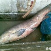 朋友野钓了一条近八十斤的野生大青鱼,被人5000多元买去了,为何青鱼价格这么贵?