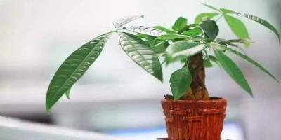 家里的发财树、长寿花总是长不大,怎么回事?