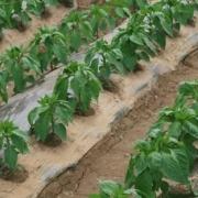 一亩收入可以到10000元以上的农作物有哪些?