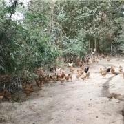 鸡的破坏力有多强?山林地放养土鸡,为何鸡活动的地方光秃秃的?