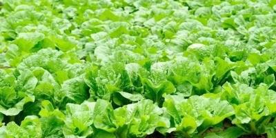 买白菜时买绿色还是白色的?