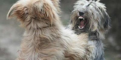 狗狗爱打架怎么办?