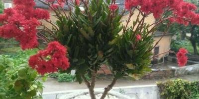 长寿花可以养几年?如何让长寿花开得更好?