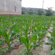 种植玉米时采用平均行距产量高,还是采用宽窄行距产量高?