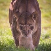 小雄狮被父亲赶出来过个几年会去挑战父亲吗?