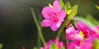 杜鹃发芽长红叶什么原因?