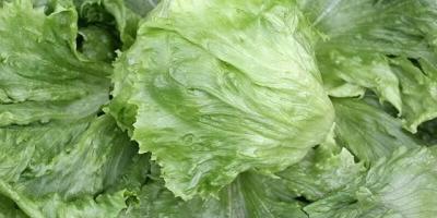 夏天了,还能种生菜吗,有什么种植技巧?