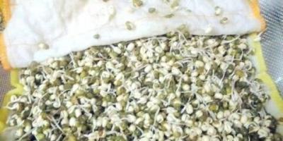 绿豆芽怎么发芽最快又好?