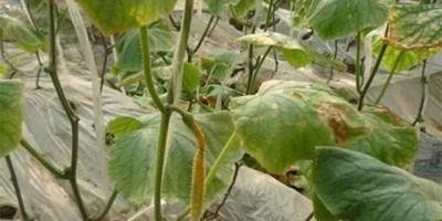 大棚种植黄瓜,什么是化瓜?怎么预防?