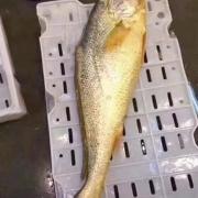 为什么宁波野生的大黄鱼这么贵?