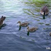 同样是禽类,为什么鸡鸭刚孵化就能自己吃,鸟类要喂一段时间?