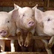 现在养猪价格,以及明年行情怎么样?现在开始养会不会太晚?