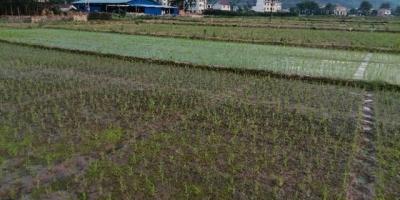 农村种植水稻,水田常年有水,对水稻的生长有没有影响?