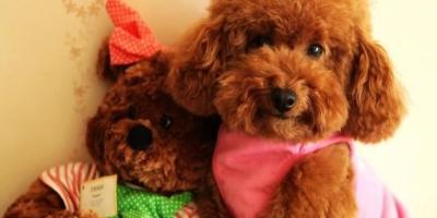 如何跟泰迪犬培养感情?