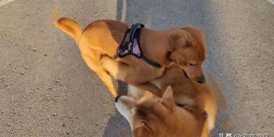 幼犬拒绝佩戴绳套,拖不走怎么引导?