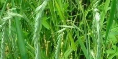 为什么有些野麦子都比小麦长的高?