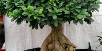 榕树盆栽施什么肥料?