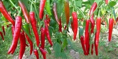 辣椒不能施什么肥?