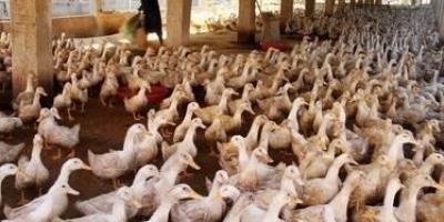 养5000只鸭子大概投资多少钱?怎么养比较好?