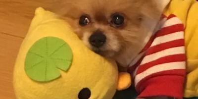 博美犬的缺点是什么?