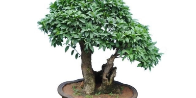 桂花树种子适合种植吗?